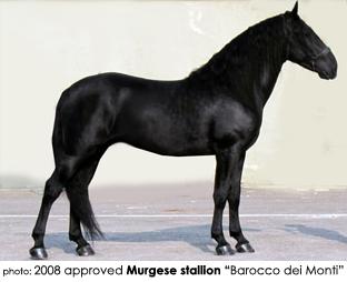 murgese horses italy | Castellare di Tonda Quarter Horses